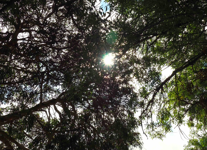Sunlight rays shining through treetops - viewed from below