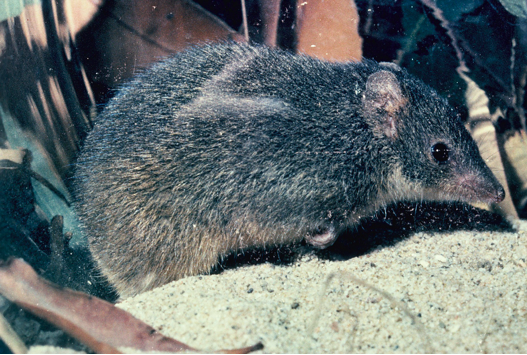 A very cute and furry swamp antechinus